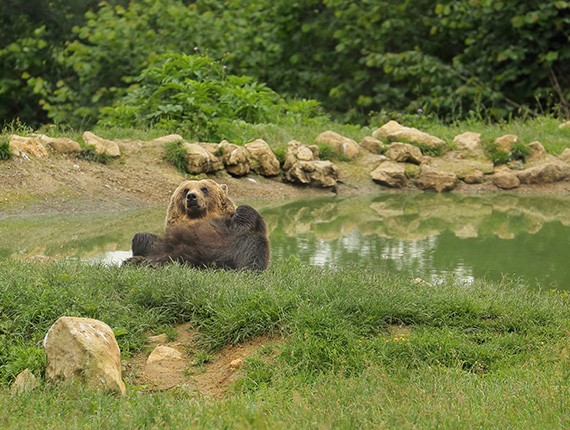 Bear at the Zarnesti Sanctuary